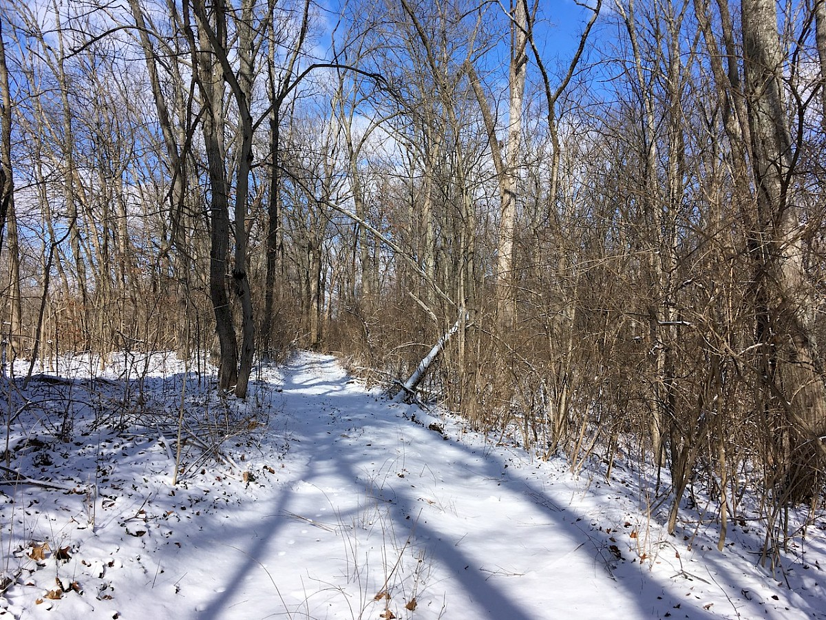 A snowy trail with thin, bare trees on a sunny day with a blue sky.