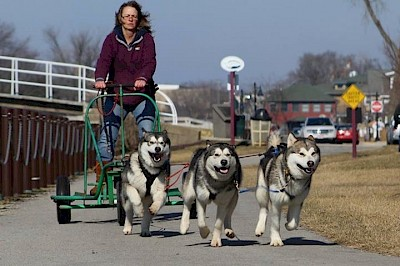 A team of sled dogs run on pavement with a woman being pulled behind them